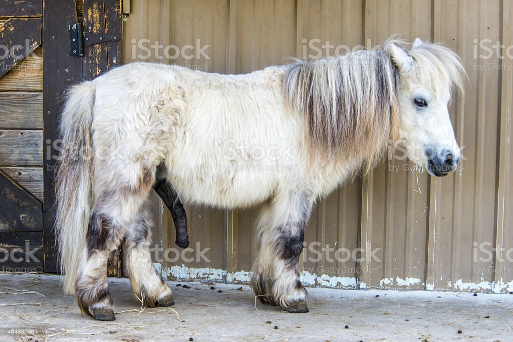 White Shetland Pony stock photo