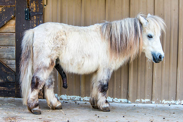 White Shetland Pony Small white horse or pony with a very large penis stands in front of the barn door. animals with big penis stock pictures, royalty-free photos & images