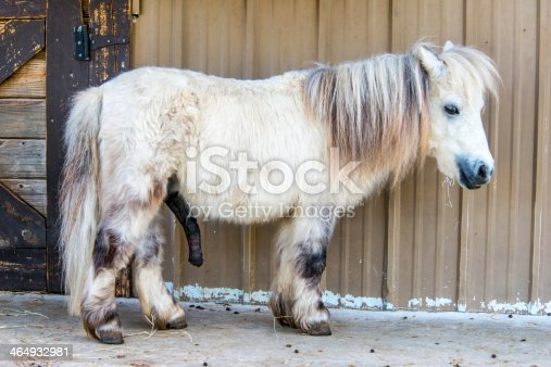 white shetland pony stock photo istock. Black Bedroom Furniture Sets. Home Design Ideas