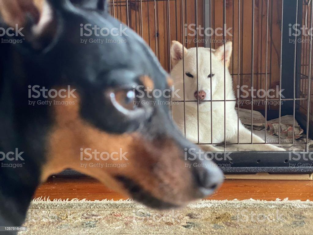 ホワイト・シバ・イヌとブラック・ミニ・ピンシャー - ペットのロイヤリティフリーストックフォト
