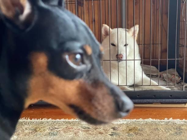ホワイト・シバ・イヌとブラック・ミニ・ピンシャー ストックフォト