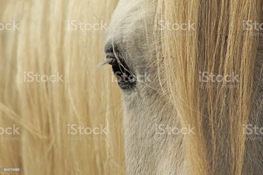 White Shire Horse stock photo