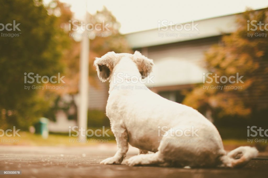White Short Hair Shih Tzu Dog Sitting Alone On The Road And Looking