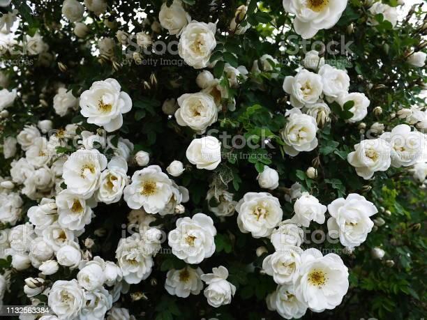 White shrub roses spread large buds picture id1132563384?b=1&k=6&m=1132563384&s=612x612&h=m7pceerue0tmrsdyeaav3adgd5luwjeq k59mhjvwim=