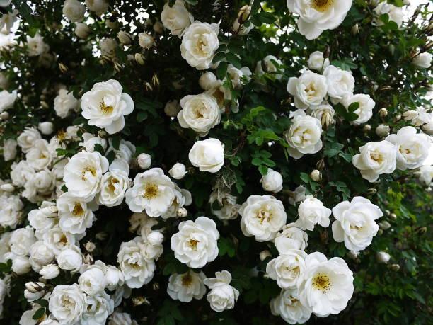 White shrub roses spread large buds picture id1132563384?b=1&k=6&m=1132563384&s=612x612&w=0&h=umn6ymktrkteyuyni8lcndpx470sxdxckx1gef909fq=