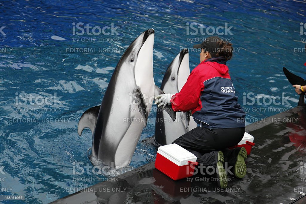 White sided dolphins stock photo