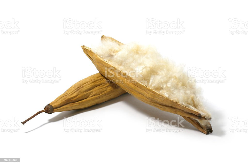 White silk cotton seed isolated on white background stock photo