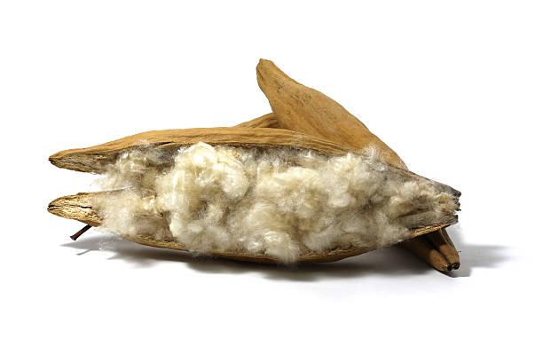 White silk cotton seed isolated on white background stock photo