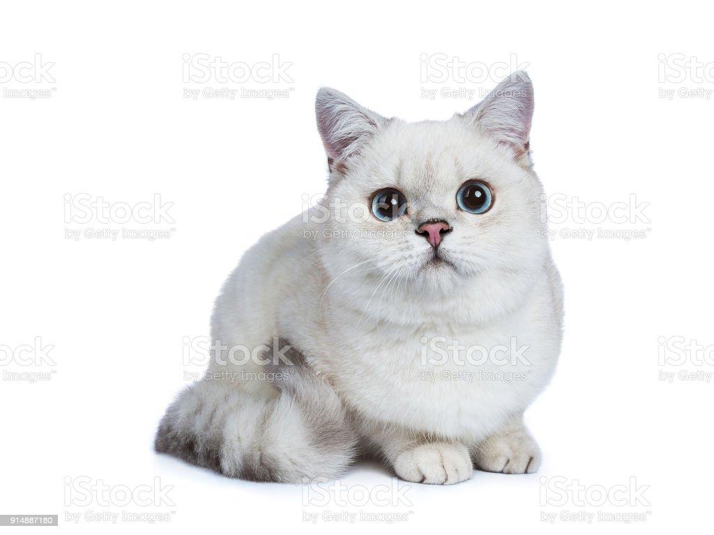 wit zilver tabby zegel wijs Brits korthaar zitten / leggen geïsoleerd op met achtergrond foto