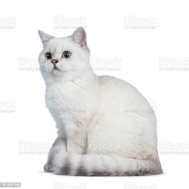 White silver tabby seal point british shorthair sitting laying on picture id914887368?b=1&k=6&m=914887368&s=612x612&h=pgtaug5jfzhs5mfisms3gqzhykxce xbmb83qvu1epw=