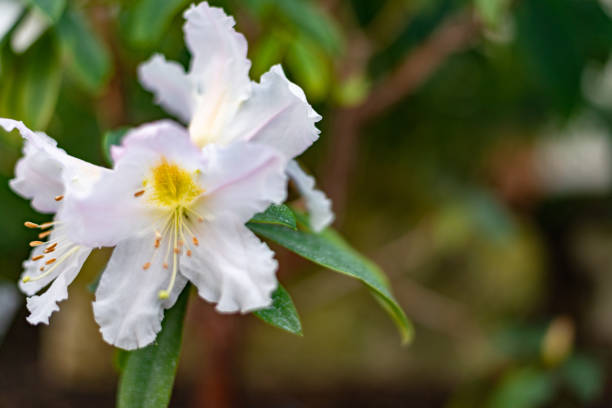 White single Rhododendron Scopulorum flower stock photo