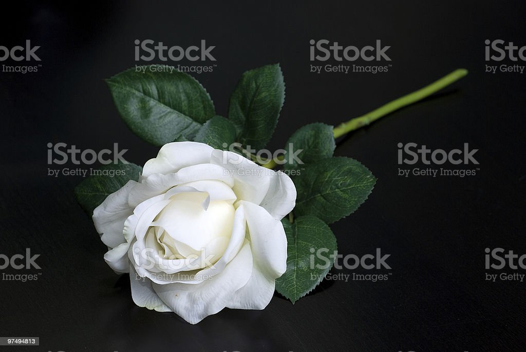 White single rose royalty-free stock photo