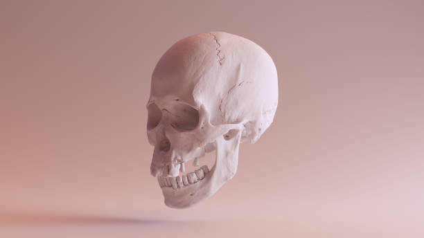White Skull with Jaw Closed 3Q Left stock photo