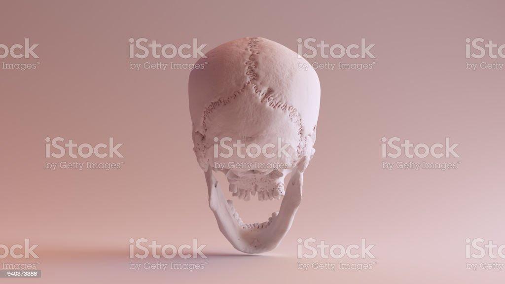 Blanco Cráneo Con Mandíbula Abierta Posterior - Fotografía de stock ...