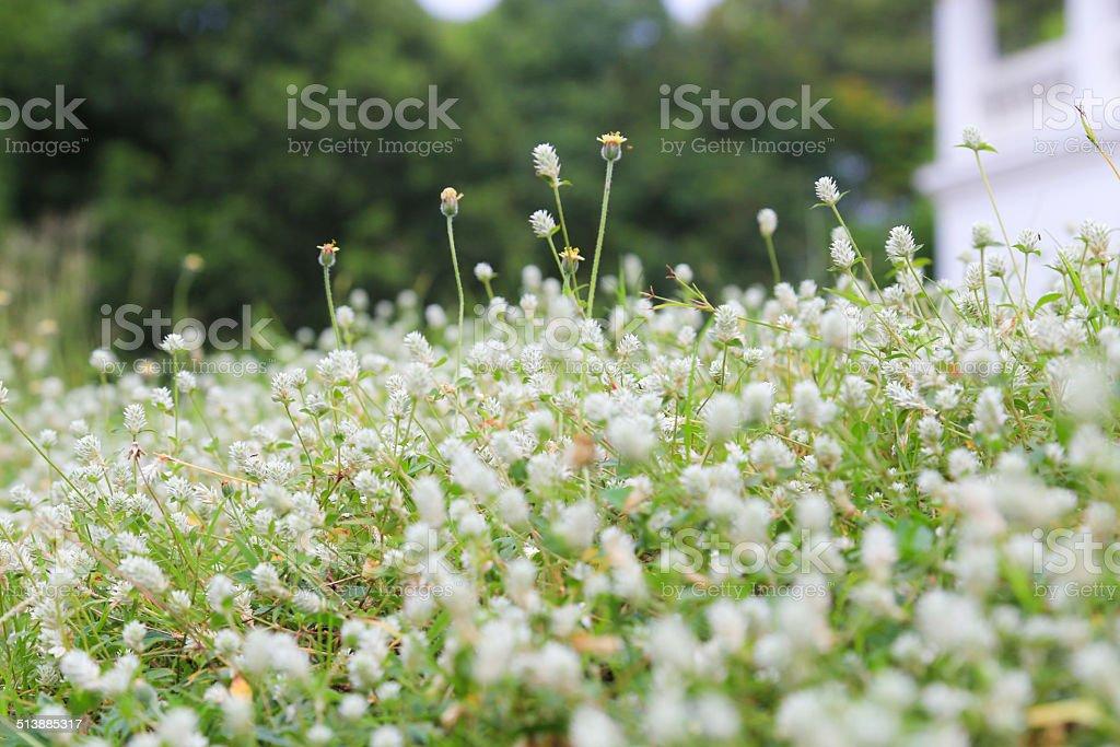 white small flower field stock photo