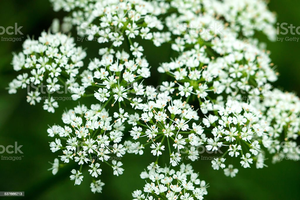 White small flower stock photo more pictures of 2015 istock white small flower royalty free stock photo mightylinksfo