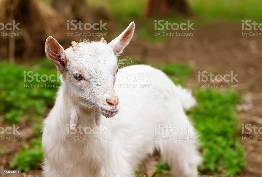 white small goat stock photo