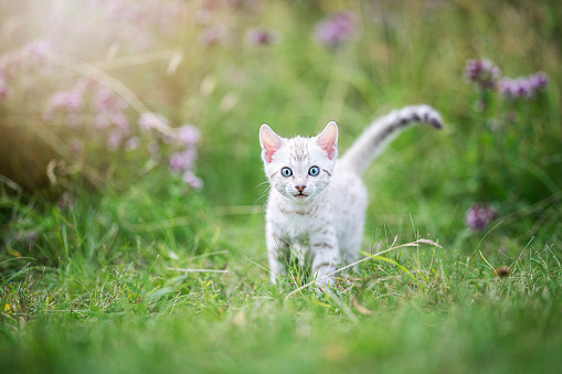 A cute white little Bengal kitten outdoors in the grass. The curious little cat is 7 weeks old, and she is looking into the  camera, eyes at the viewer. With some purple flowers in the background.