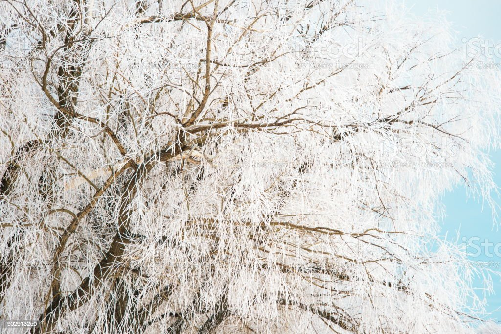 white snow frost on the nature tree branch in cold winter time background stock photo