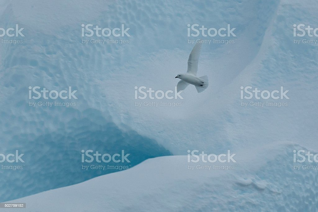 White Snow Petrel stock photo