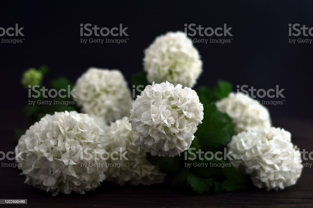 White Snowball Flowers On Dark Background Stock Photo More