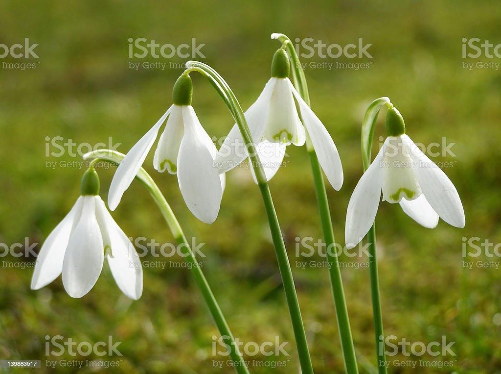 white snowdrop royalty-free stock photo