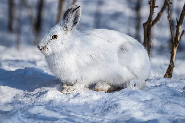 white schneeschuhhase im schnee - schneeschuhhase stock-fotos und bilder