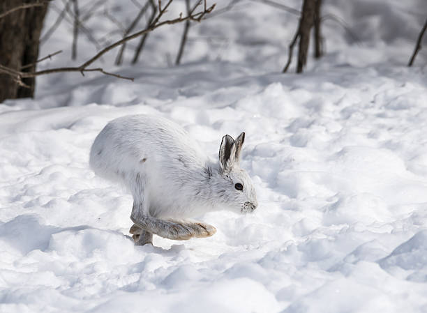 White snowshoe hare on snow picture id482547437?b=1&k=6&m=482547437&s=612x612&w=0&h=fps3vmaqkuidb2vwbq5mltw2she4bonzhrijxafh sw=
