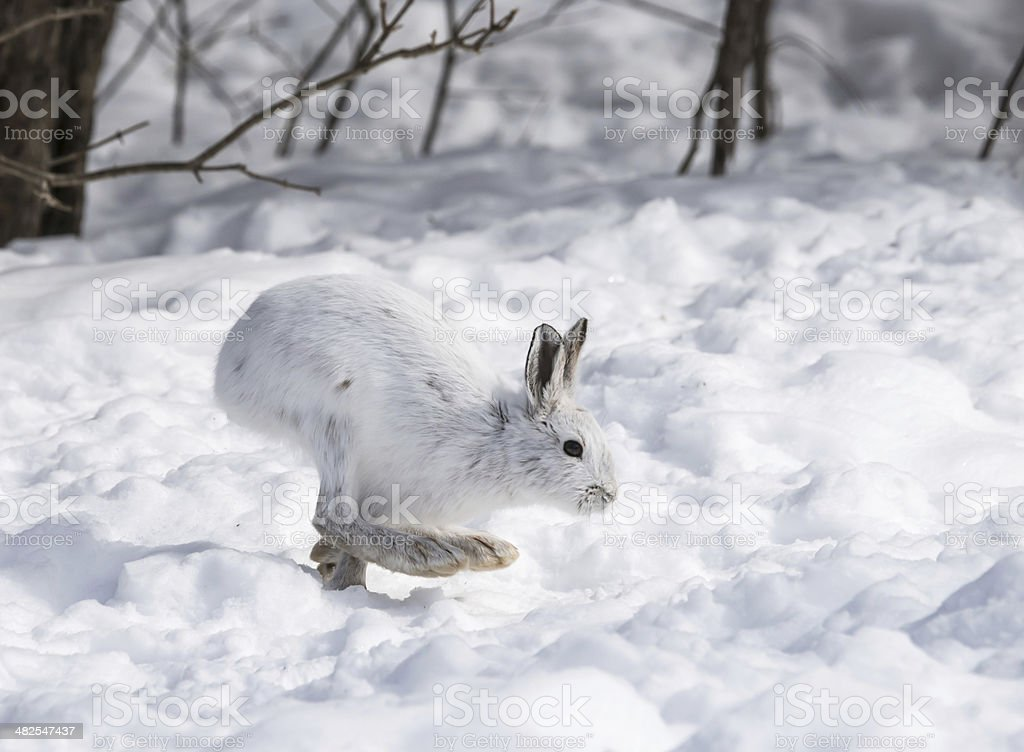 White Snowshoe Hare on snow stock photo