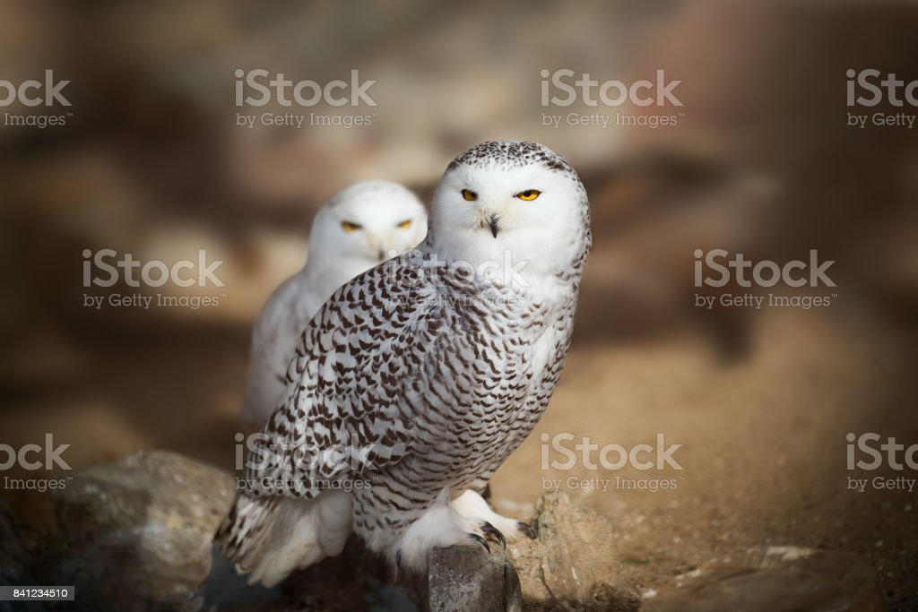 White snowy owl sitting on the rock stock photo