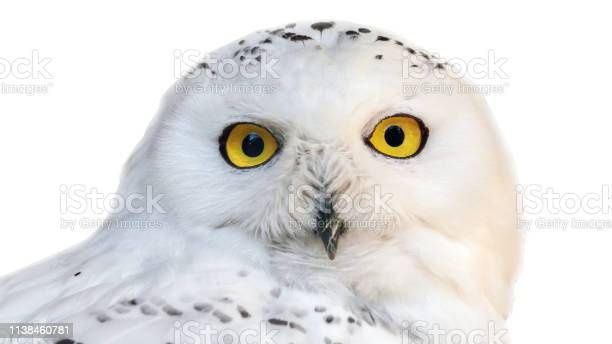 White snowy owl with yellow eyes isolated on white background picture id1138460781?b=1&k=6&m=1138460781&s=612x612&h=dnhtzffrmmnbvuxpelqqps5skw5m9ruxg9fzpjdl9i8=