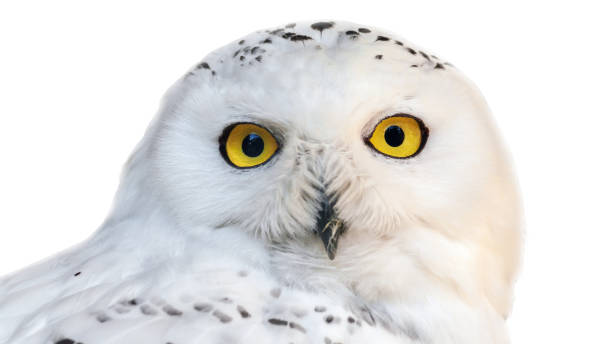 White snowy owl with yellow eyes isolated on white background picture id1138460781?b=1&k=6&m=1138460781&s=612x612&w=0&h=6waogheasprg7glg6py3rq2cpxzjxyt h tsm9ulfvw=