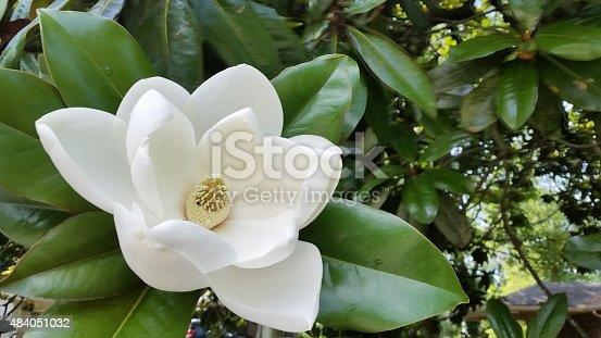 istock White Southern Magnolia Flower in Bloom on Tree Atlanta Georgia 484051032