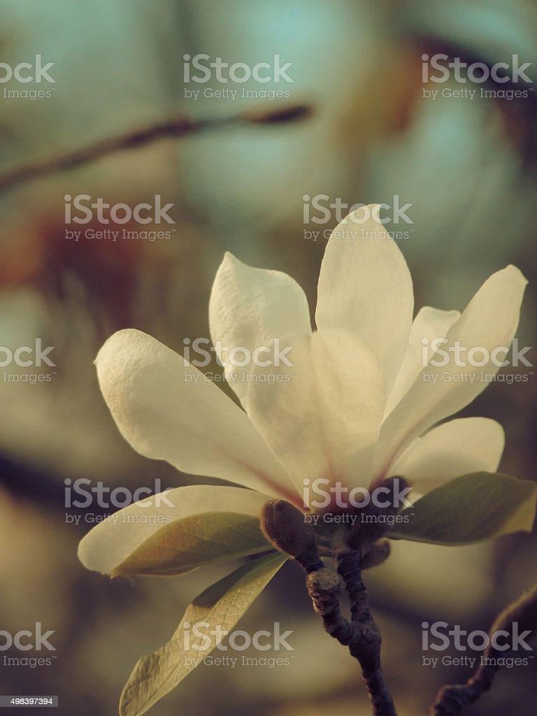 White Southern Magnolia Grandiflora Flower Blossom Retro Tones Beautiful stock photo