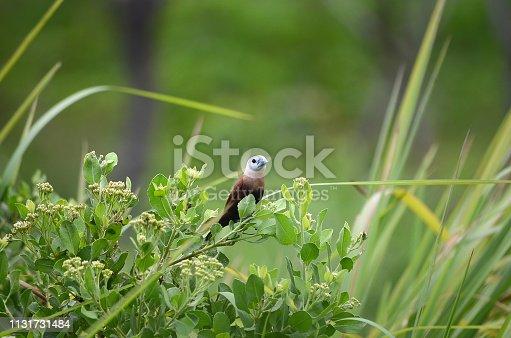 istock White Sparrow Head 1131731484