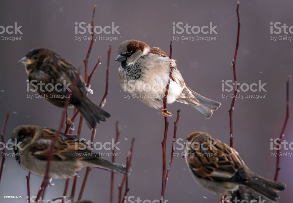 White sparrow on thin twig among a group of usual brown birds in winter stock photo