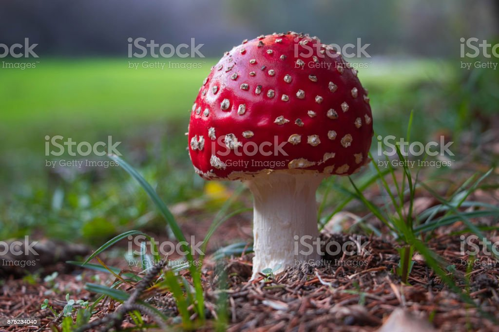 white speckled red toxic mushroom stock photo
