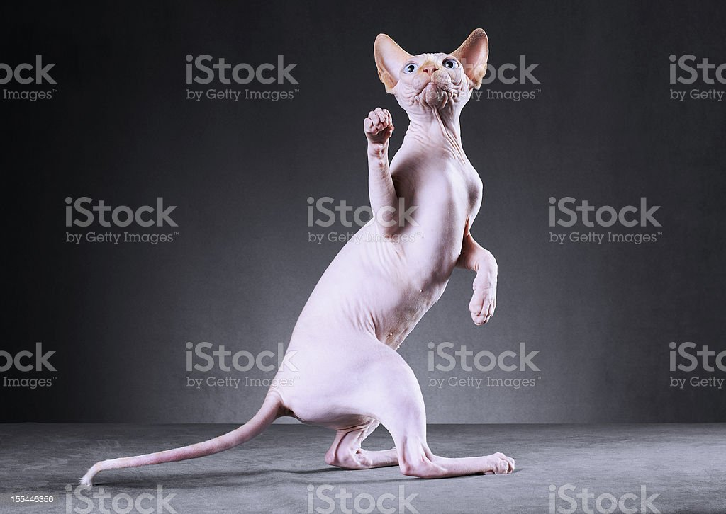 White sphynx cat standing on two legs. stock photo