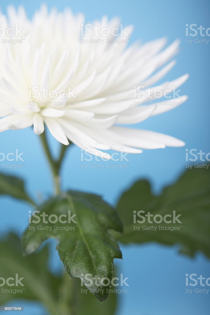 White spider chrysanthemum stock photo