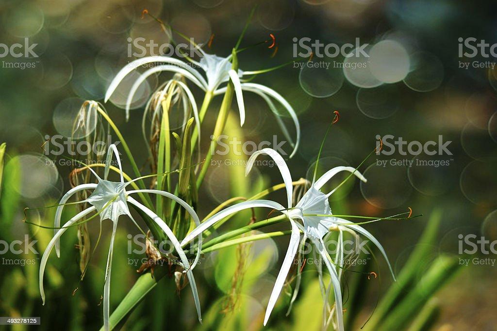 White spider lily flower -Hymenocallis littoralis, bokeh background stock photo