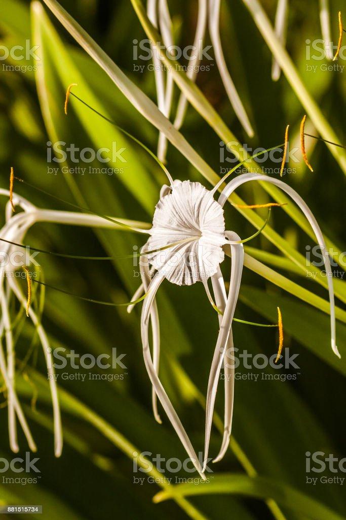 White Spider Lily - Hymenocallis stock photo