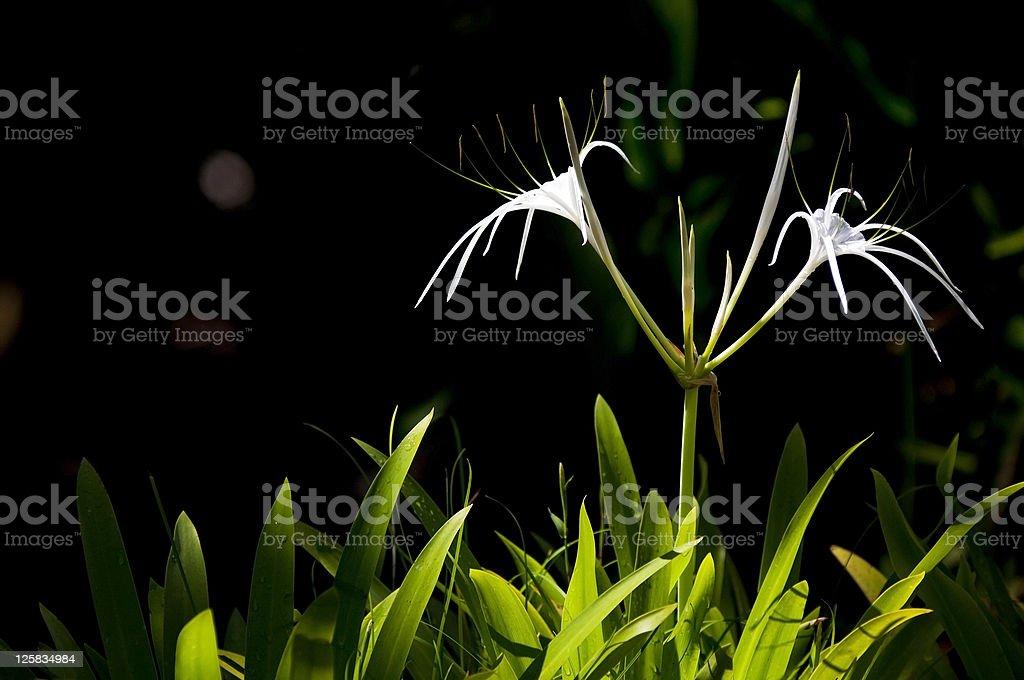 White Spider Lily stock photo