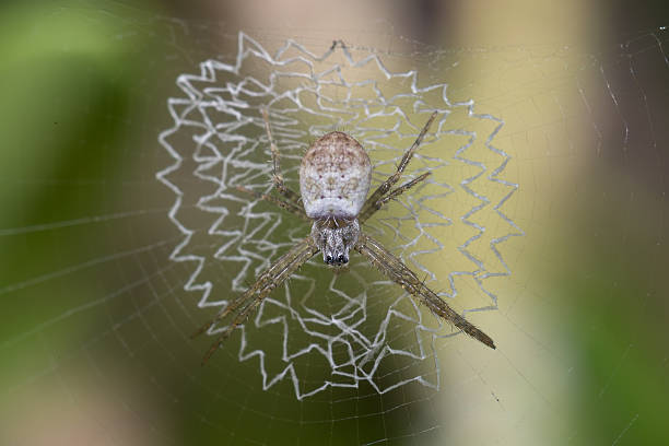 White Spider on its damaged web This argiope species of white spider waiting for its prey entangle on its sticky web. The web appear to be damaged or touched by somehow ensnare stock pictures, royalty-free photos & images