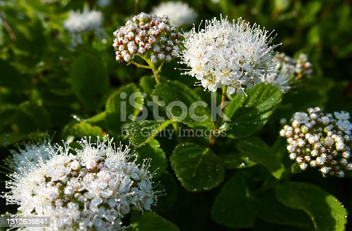 White Spirea flower with shining morning dew