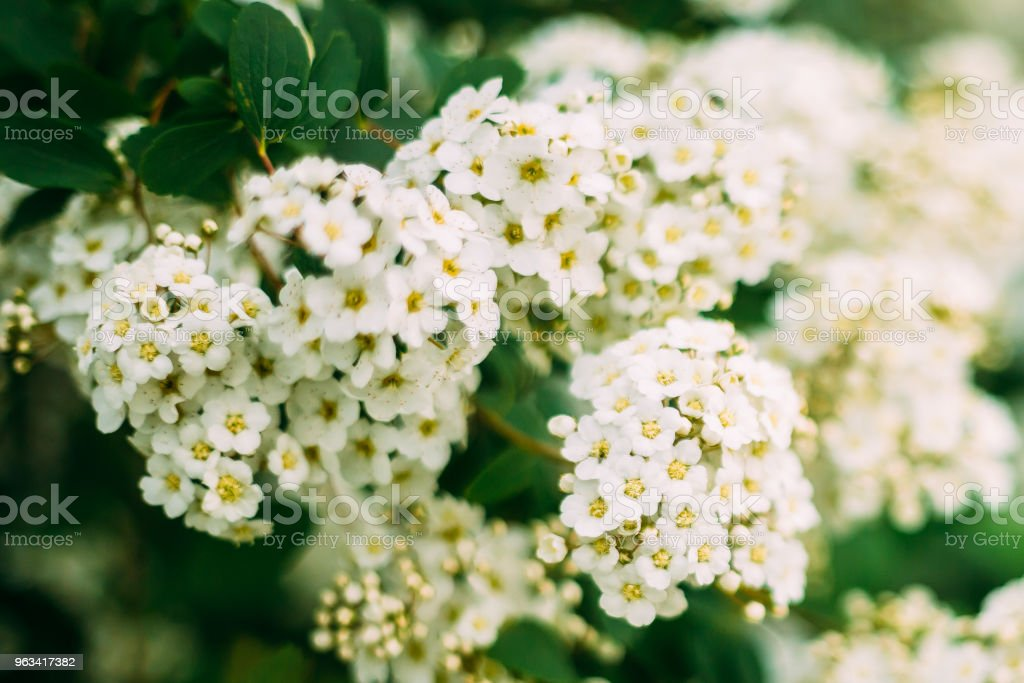 White Spirea Flowers Blooming On Bush At Spring - Zbiór zdjęć royalty-free (Białoruś)