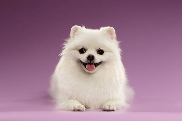 weiße spitz hund liegen auf farbigen hintergrund - zwergspitz stock-fotos und bilder