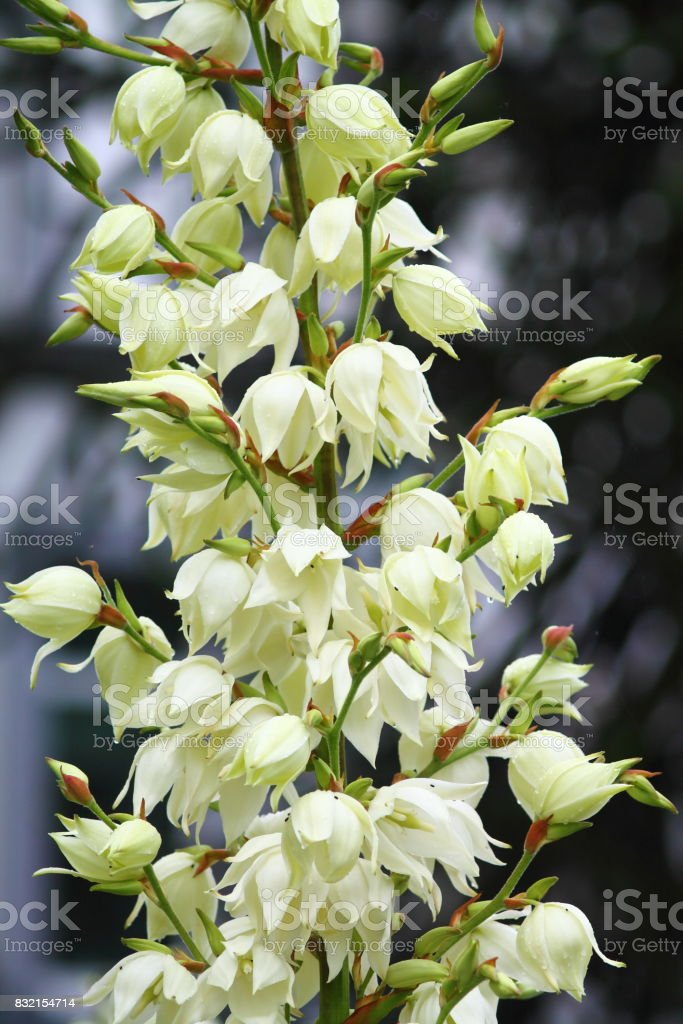 White spoon-leaf yucca flowers. stock photo