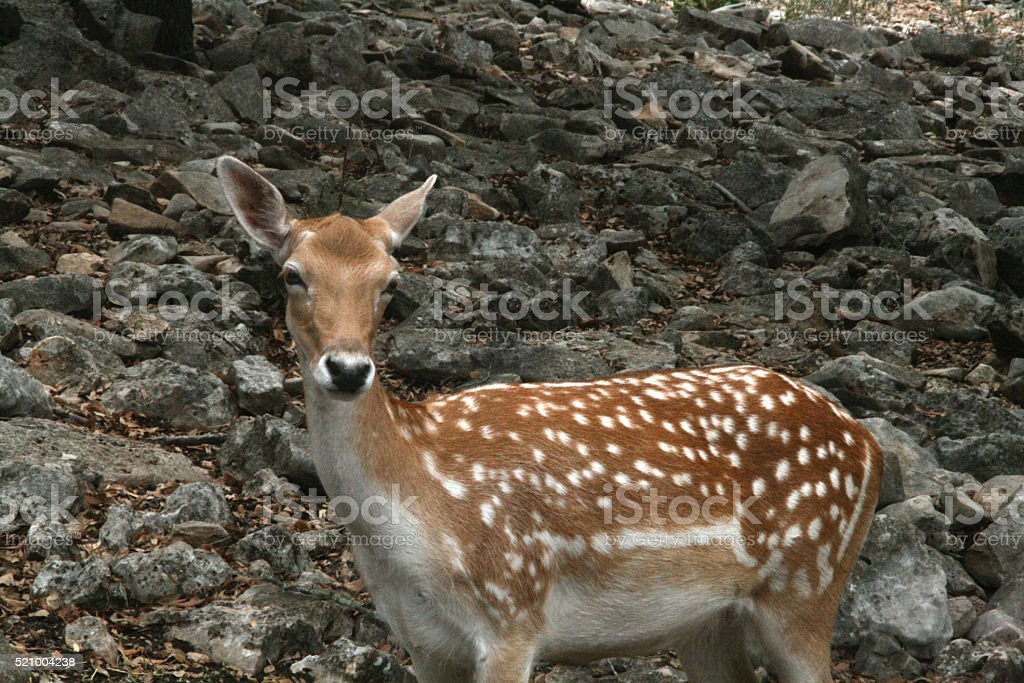 White Spotted Deer stock photo