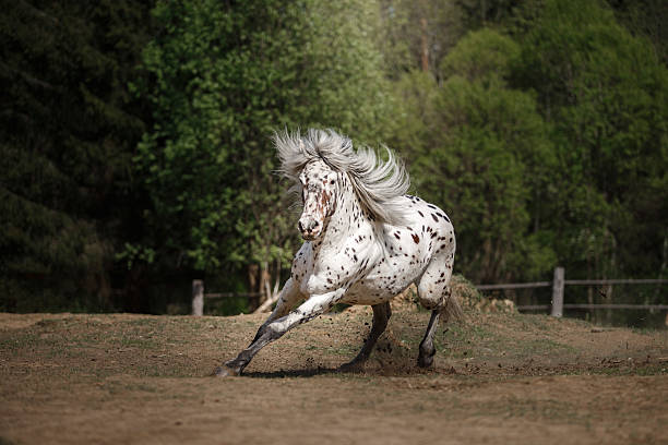White spotted horse on nature White spotted horse running in nature appaloosa stock pictures, royalty-free photos & images