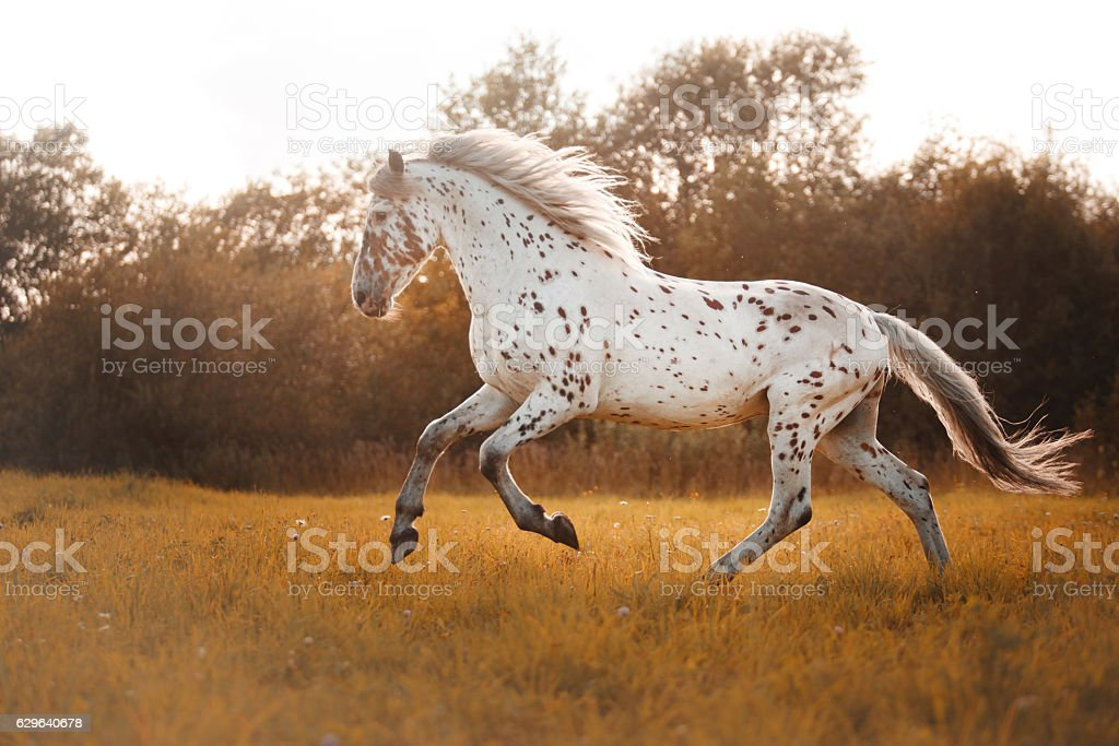 White spotted horse stock photo